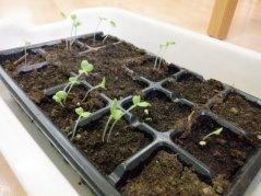 【はやみや】年長 冬野菜の植え込み