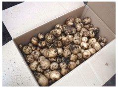 たけのこ組さん、早宮ファームでジャガイモ収穫